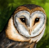 Barn owl by Concini