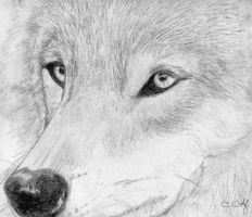 .Wolf - Look into My Eyes. by White-Wolfen