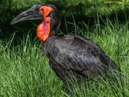 Southern Ground Hornbill by liquidozzwald