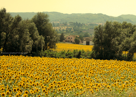 Sunflowers I by FrancescaDelfino