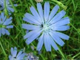 Wild chicory by iricolor