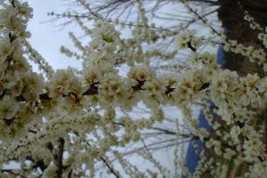Plum blossoms by EruwaedhielElleth