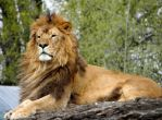 Lion by Chauler