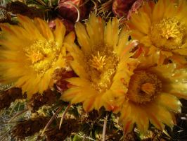 Bloomed barrel cactus by TuffBuff