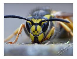 Wasp Too by albatros1