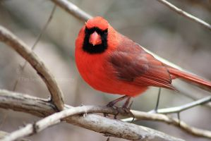 Northern Cardinal Close-Up by timseydell
