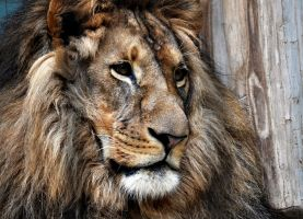 Lion within by simri