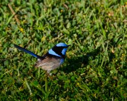 Blue Wren by djzontheball