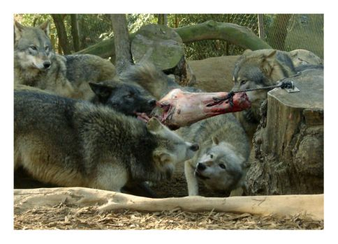 zoo part 1 wolves by aoife-fionn
