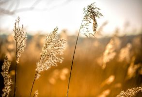 Reeds in the midday sun by bexa