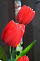 Tulip v. Lily Put by CCM-Photography