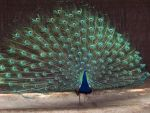 Peacock by 14658