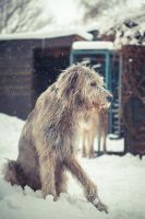 .: Wolf in the Snow :. by Frank-Beer