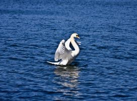 Swan Show 2 by DundeePhotographics