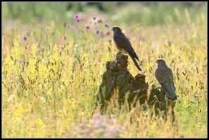 Kestrel Pair by nitsch