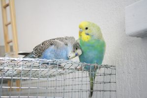 Budgie scratches by couinette