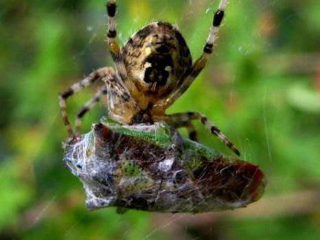 Orb Web Spider with Shield bug by iriscup