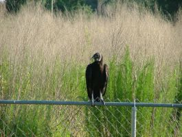 Group of Black Vultures in my yard 10 by TheGreatWiseAss