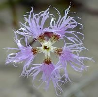 Dianthus superbus by nordfold