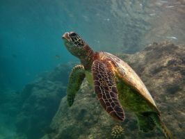 My Dance Partner, the Honu by X5-442
