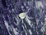 7. lavender by littleconfusion