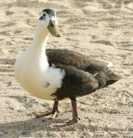 Goose by FlWeyand
