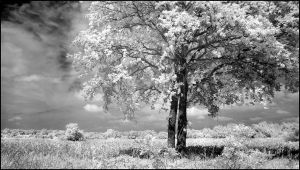 Two Trees infrared... by MichiLauke