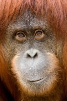 Orangutan 27 by Art-Photo