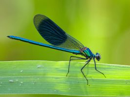 Calopteryx splendens by Pete1987