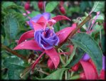 fuchsia's by kram666