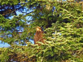 Coon Eagle by wolfwings1