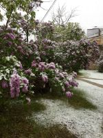 Early Lilacs, Late Snow by Lemonflavoredkittens