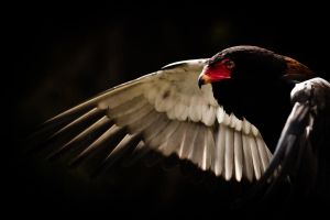 Bateleur Eagle II by CarpathianWolf