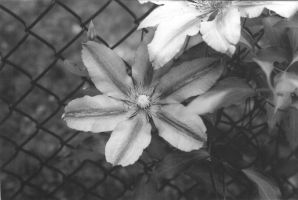 Clematis by moonywerecat