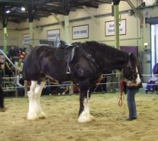 Shire Horse - 024 by EasternBrumbyStock