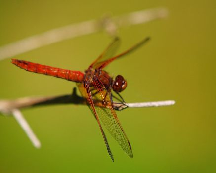 Red Dragonfly by swashbuckler