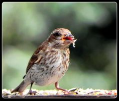 Purple Finch, a Juvenile by JocelyneR