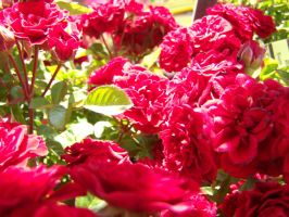 Little Red Roses by theNanna