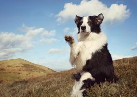 Begging Border Collie by micromeg