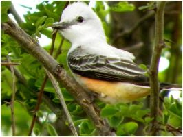 Baby Scissortail May 10 by SuicideBySafetyPin