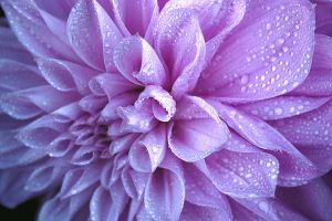 Wet dahlia HDR by shadowflame2010