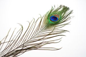 Peacock Feather 2 by HKPasseyStock