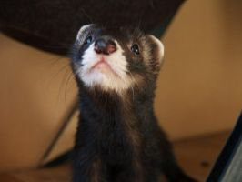 Azrael the Ferret by ShadowOfMeHH