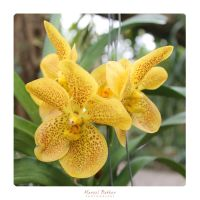 yellow orchid by MBKKR