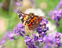 PAINTED LADY by Sandy33311