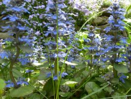Ajuga reptans by Emmy-has-a-Gun