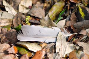 Feather in leaves by Missmith91