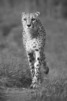 Cheetah :3 by FGW-Photography