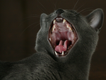 Russian Blue Yawn by Vihola