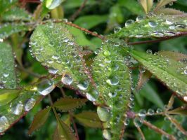 Dew Drops by ppdigital